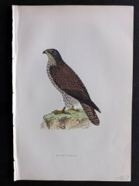 Morris 1897 Antique Hand Col Bird Print. Honey Buzzard